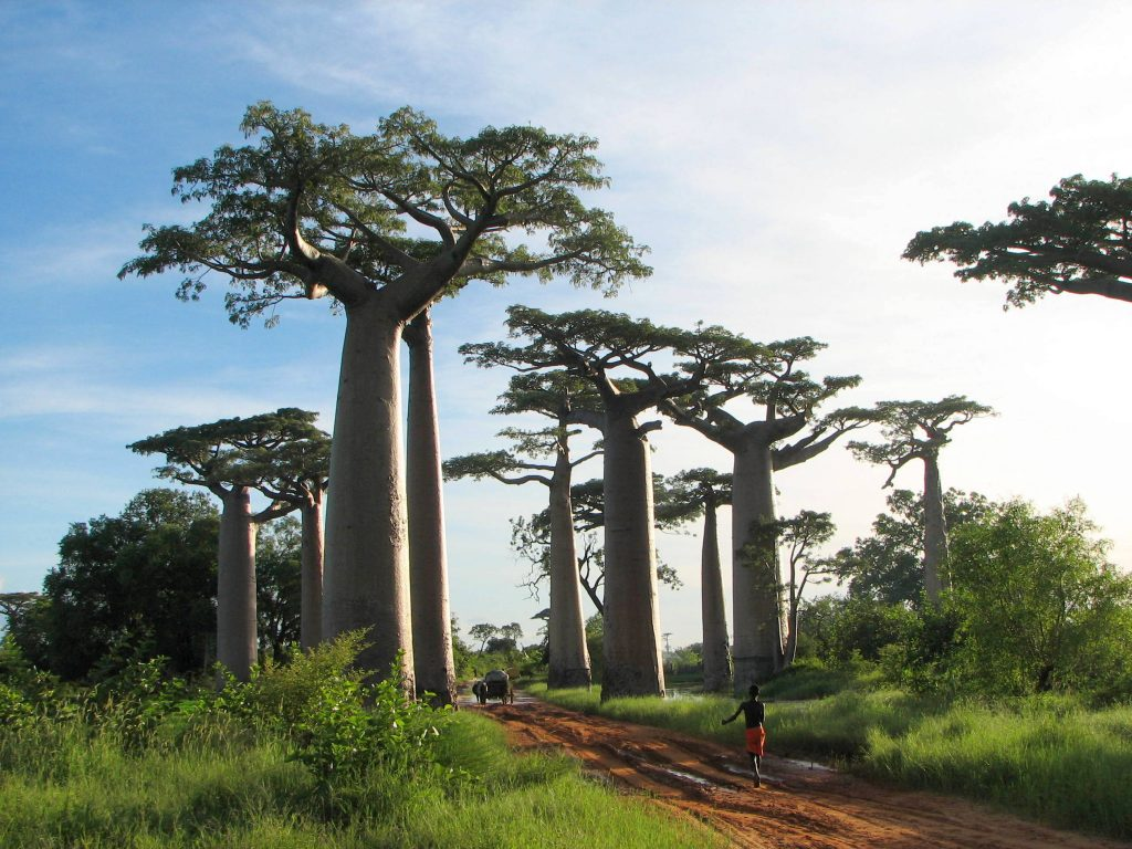 baobab tree, baobab extinction